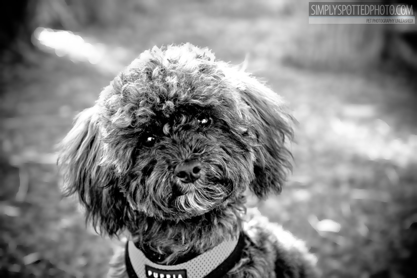 Ipo - Poodle Mix
