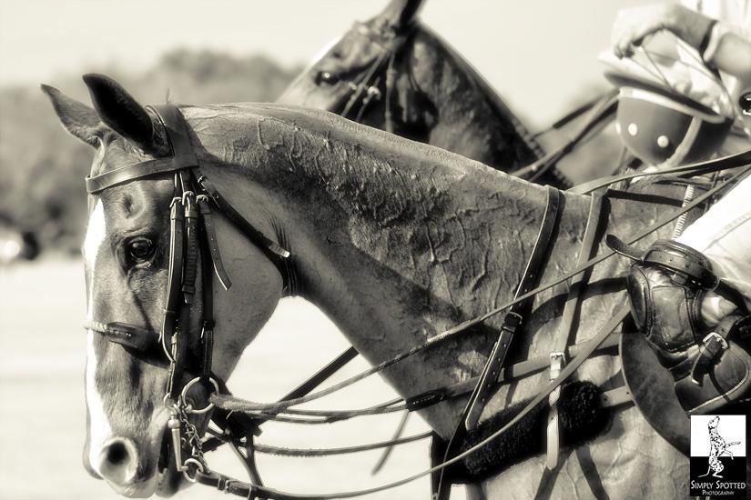 Sarasota Equine Photography