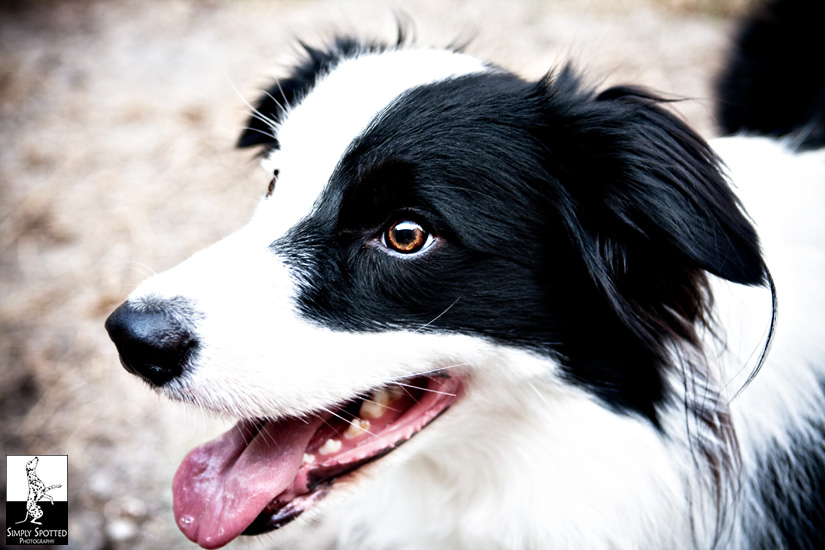 TicTac - Border Collie