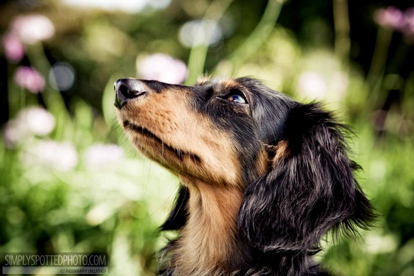 Dachshund Photography