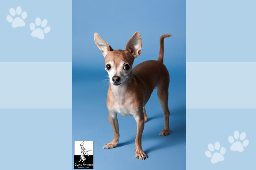 Dupree - Chihuahua