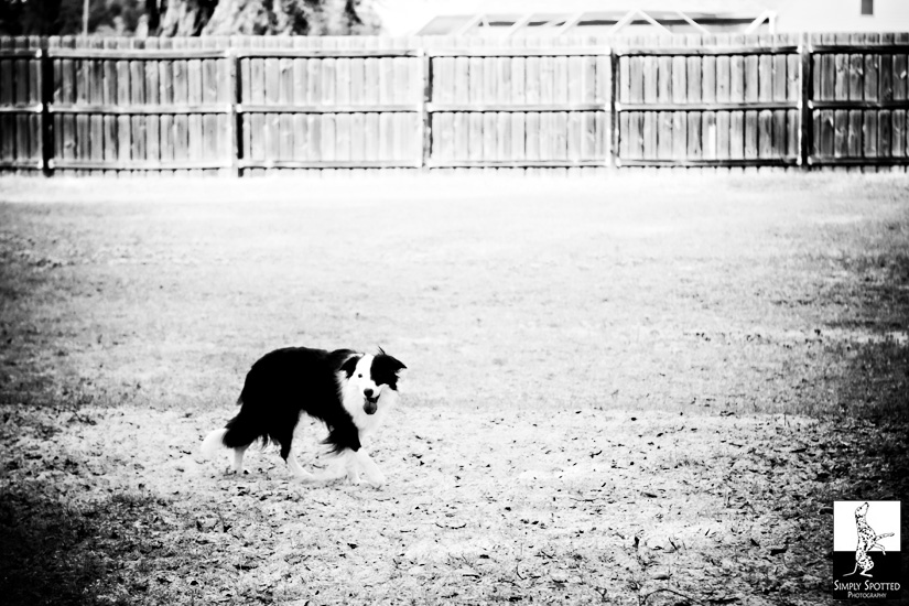 Tampa Border Collie