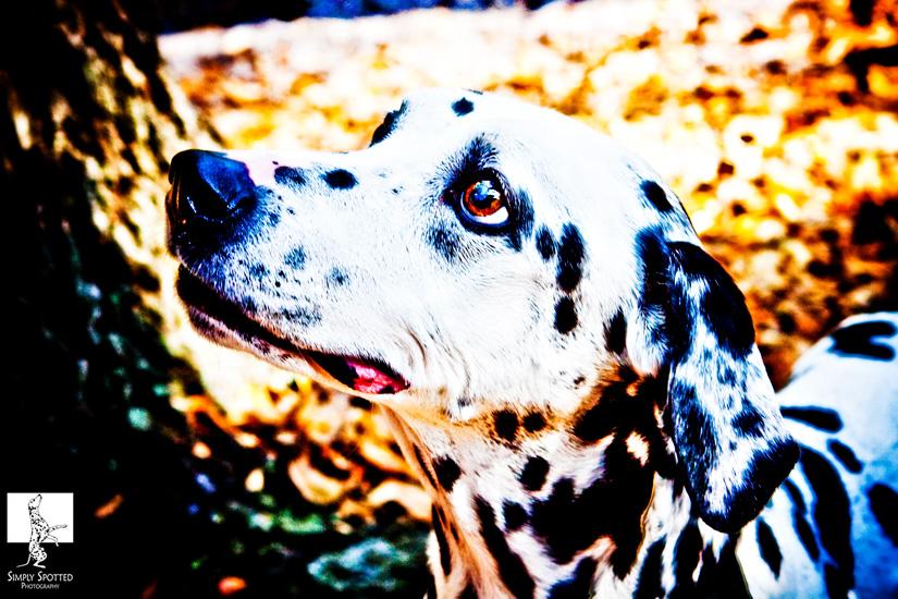 Pongo - Dalmatian Photography