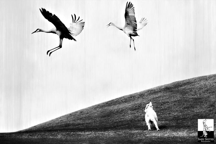 Bella and the Sandhill Cranes