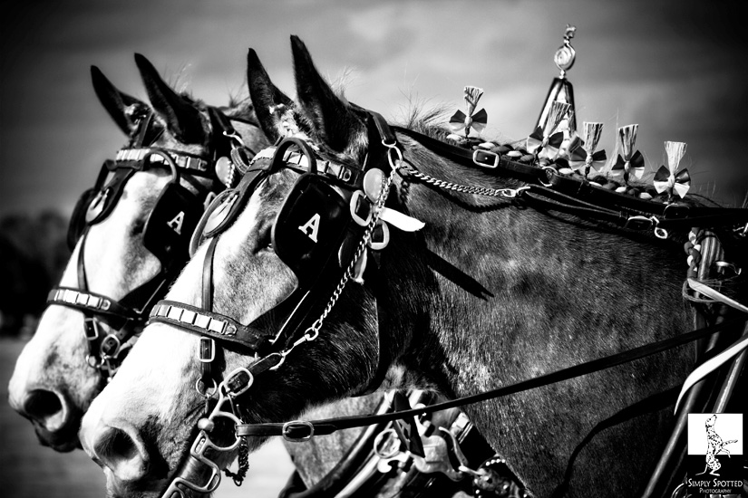 Clydesdale Photography