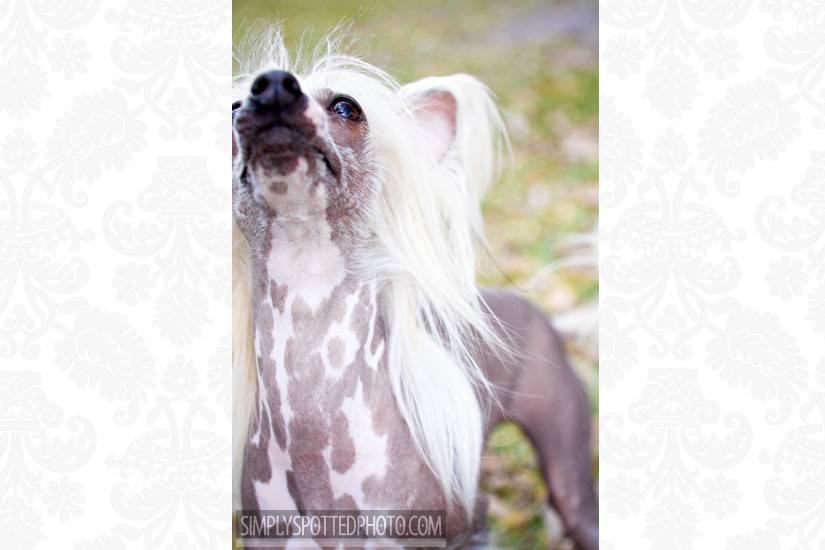 Chinese Crested Photography