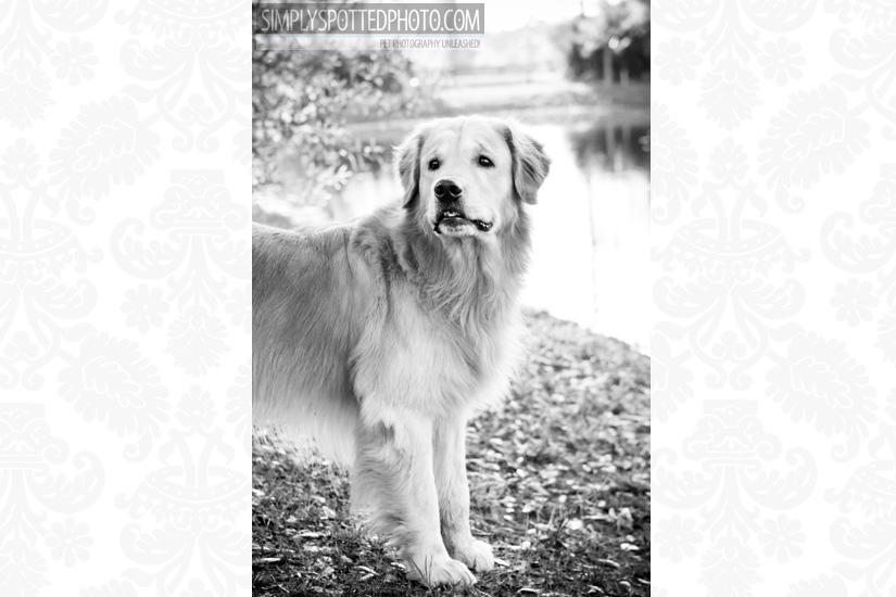 Golden Retriever Photography