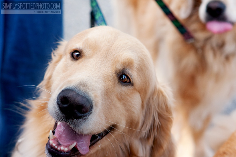 Goldens - Paws In Motion