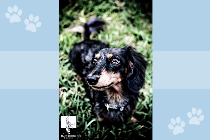 Mikey the Doxie