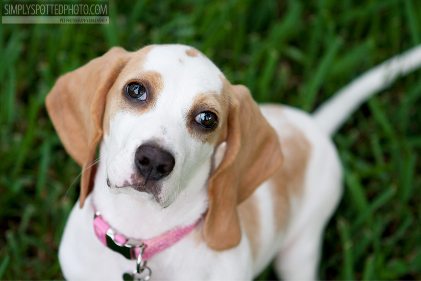 Barkley the Beagle Puppy