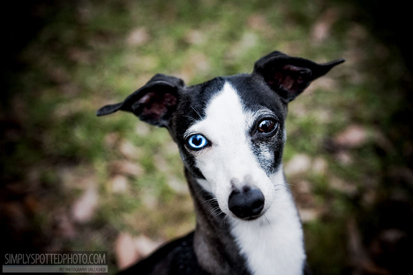 Beau - Italian Greyhound