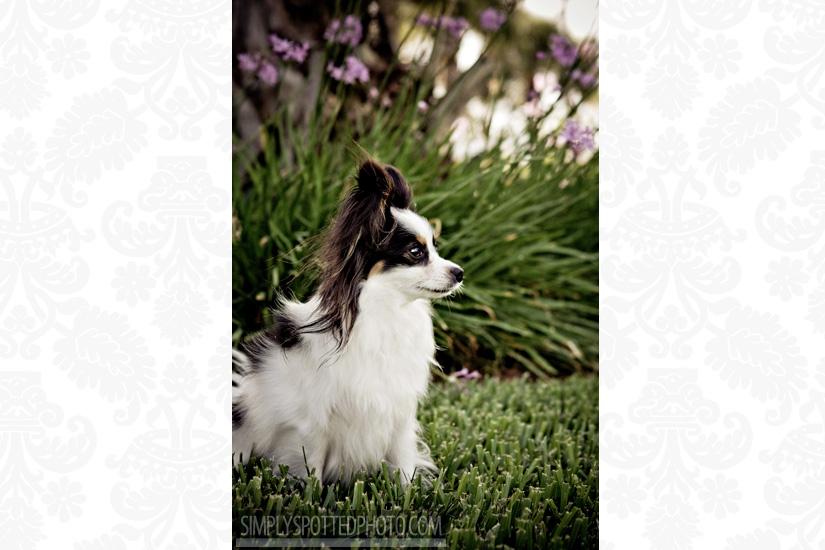 Tulip - Papillon