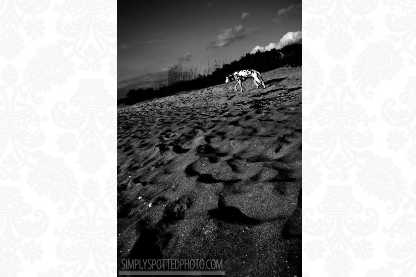Beach Dalmatian