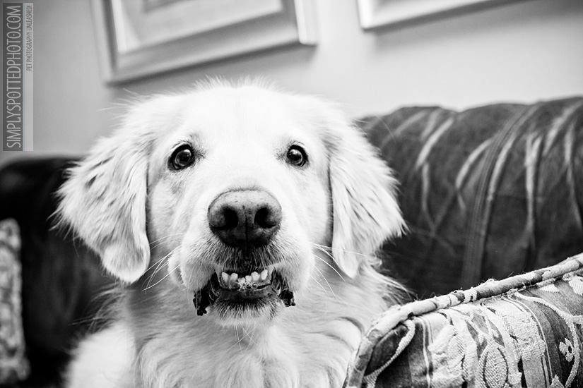 Golden Retriever Photography