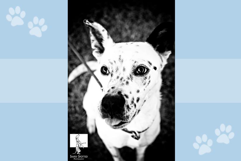 Oreo-Dalmatian-Rescue