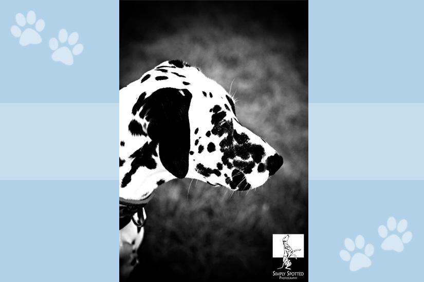 Hunter-Dalmatian-Rescue