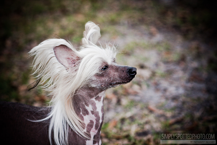 Pixie - Chinese Crested